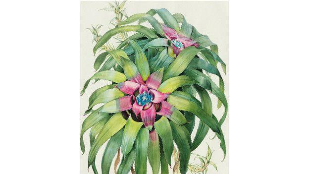 Neoregelia margaretae