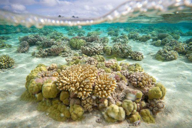 Hay corales constructores de arrecifes en todos los mares tropicales de aguas transparentes del mundo.
