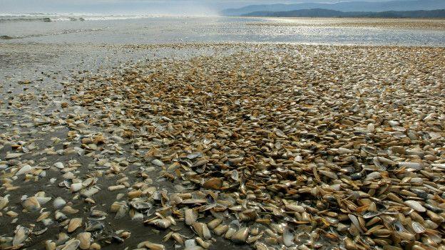 Moluscos y mariscos en una playa de Chiloé