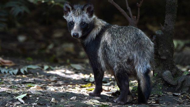 En muchos países de Europa los perros mapaches son una amenaza para la fauna autóctona.