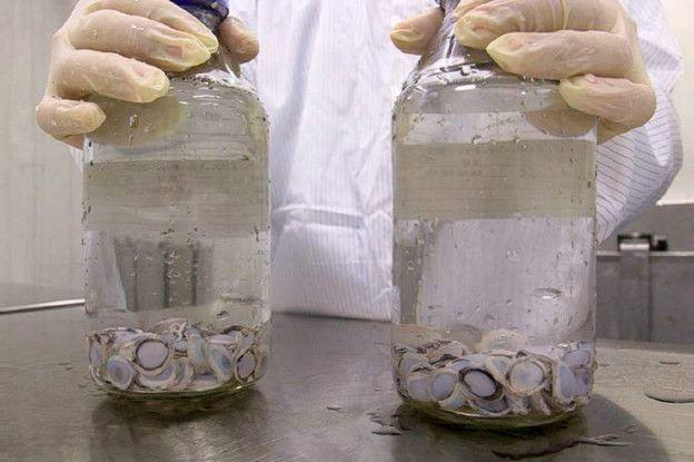 Hasta ahora se han practicado 200 trasplantes de córnea de cerdo en humanos.
