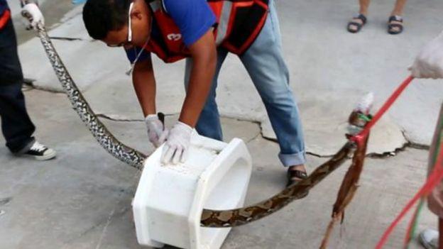 Le serpent libéré a été relâché dans la nature, mais loin de la salle de bains de M. Attaporn