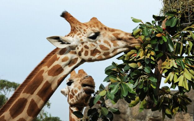 「長頸鹿」的圖片搜尋結果