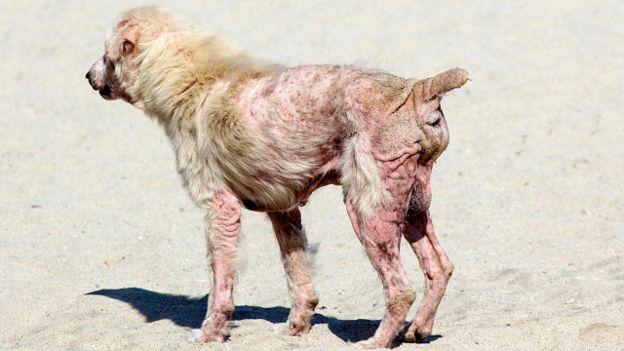 Тварина, хвора на саркоптоз
