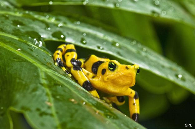 Rana dorada de Panamá