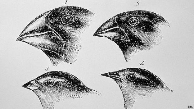 Diagrama de Darwin de los picos de los pinzones de Galápagos