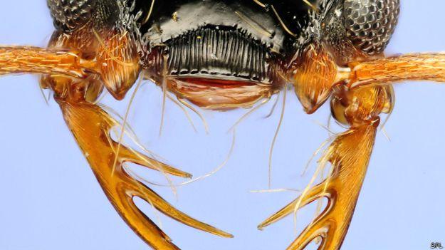 Hormiga de la especie Thaumatomyrmex atrox