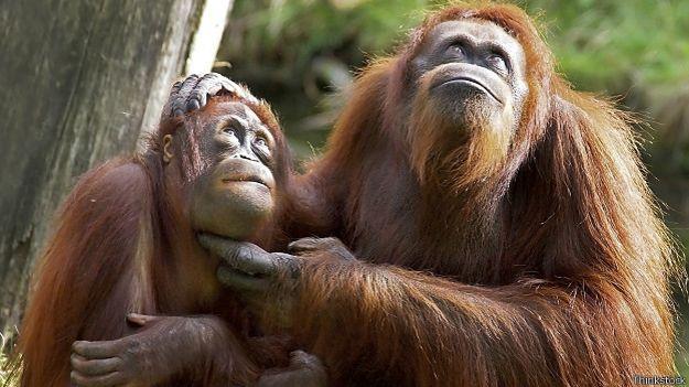 Пара орангутанов