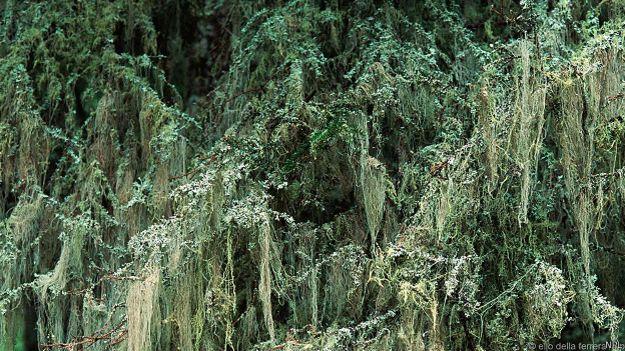 Лишайник на елях