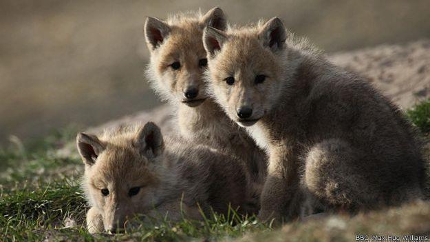 Трое волчат отдыхают