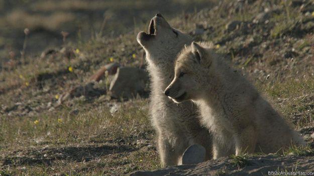 Волчата учатся выть