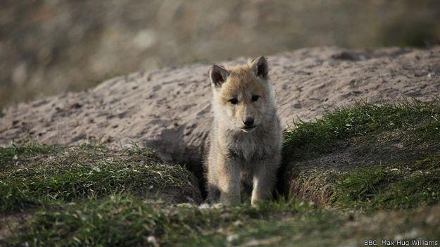 Юные волки бывают смелыми и любопытными