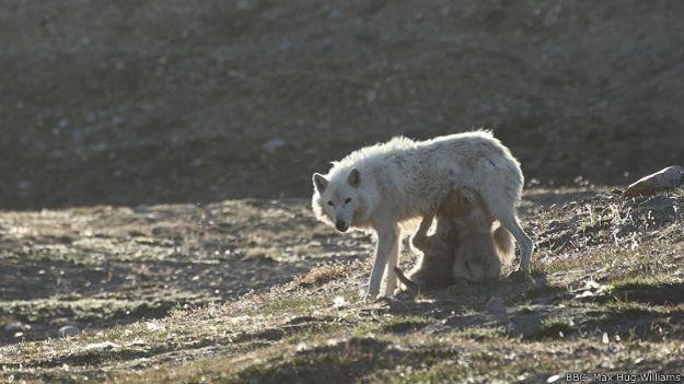 Волчатам не обойтись без материнского молока