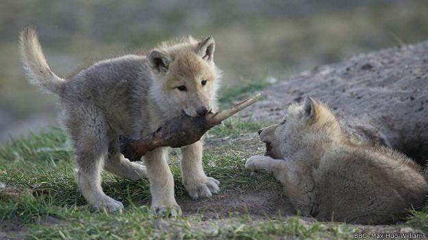 Волчий аппетит