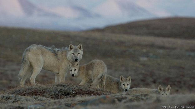 Волчья семья держится вместе