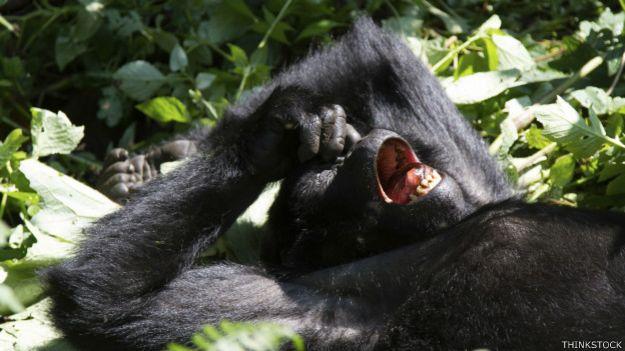 Un gorila se mete un dedo en la nariz
