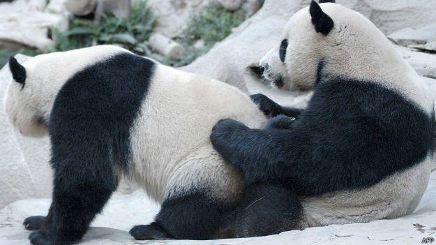 Pandas copulando