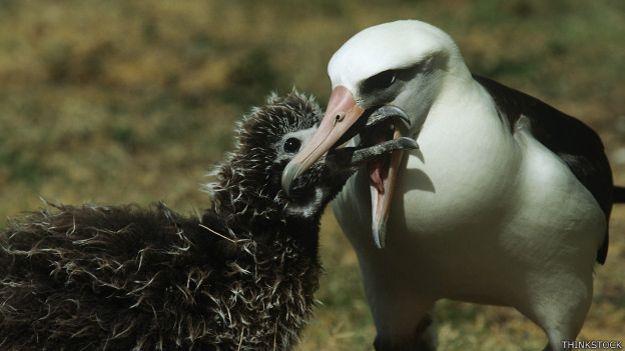 Albatros de Laysan