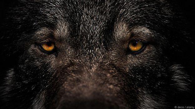 Глаза черной собаки
