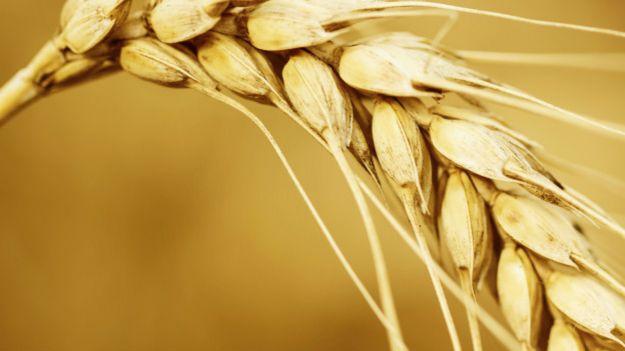 Feixe de trigo