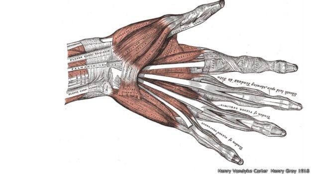 Anatomia da mão humana