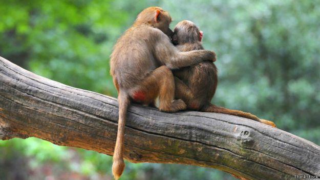 Macacos abraçados