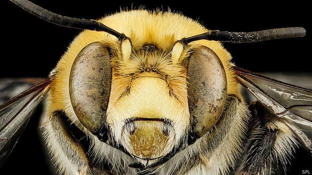 Пчела крупным планом
