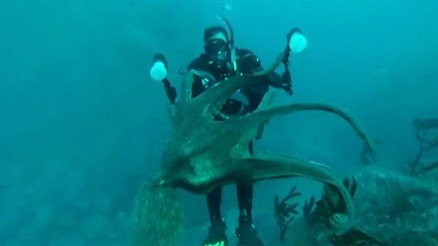 Mergulhadores e polvo 'disputaram' câmera a 25 metros de profundidade (BBC)