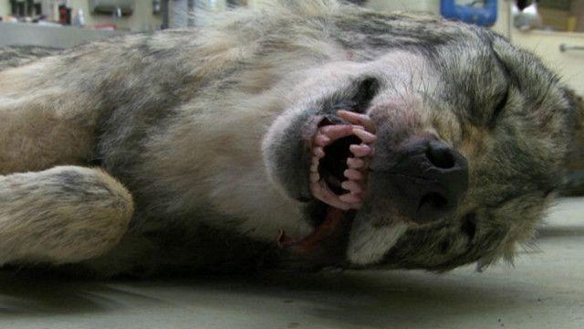 Cadáver de lobo