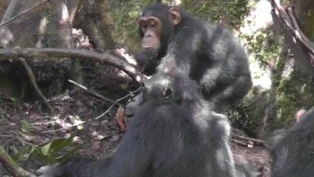 Chimpancés en Uganda