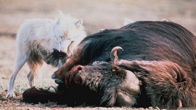 Добыча волка