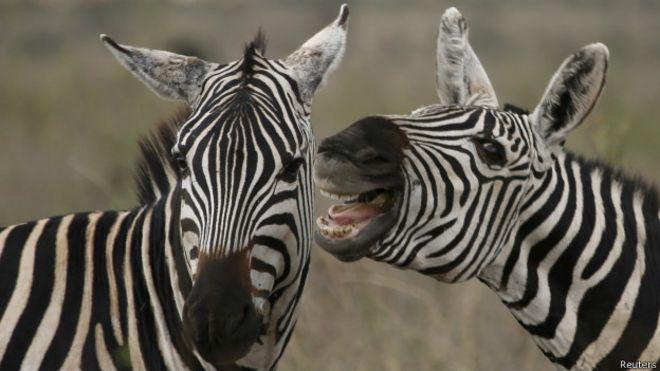 150418002250_zebras_loose_624x351_reuter