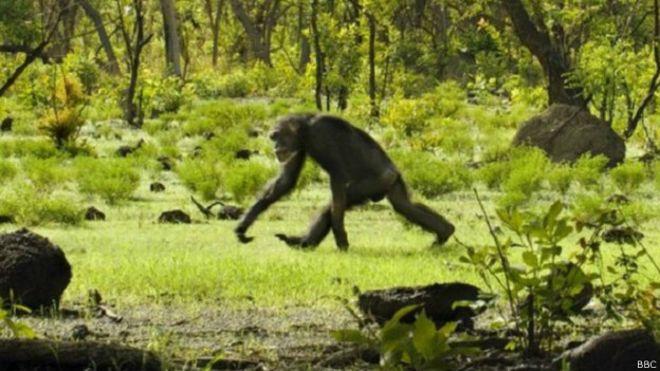 http://ichef.bbci.co.uk/news/ws/660/amz/worldservice/live/assets/images/2015/04/27/150427162017_chimpanzee_624x351_bbc.jpg