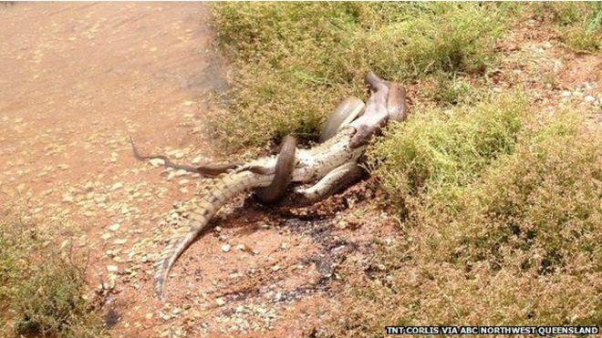 Hace unos meses se grabaron unas imágenes de una serpiente comiendo un cocodrilo en el lago Moondarra, Australia.