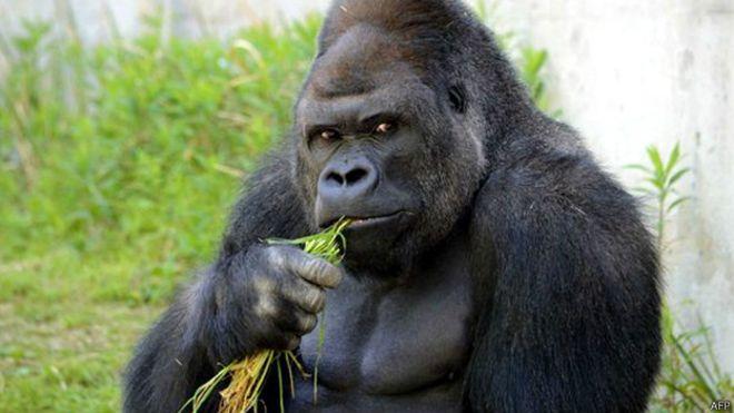 Japones gorila
