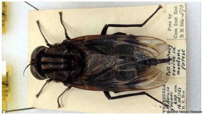 熱帶雨林裏的「蠅王」:世上最大的蒼蠅