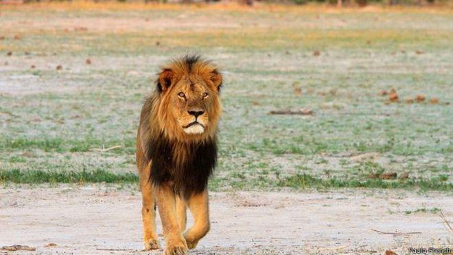 Сесил, самый знаменитый лев Зимбабве, был убит