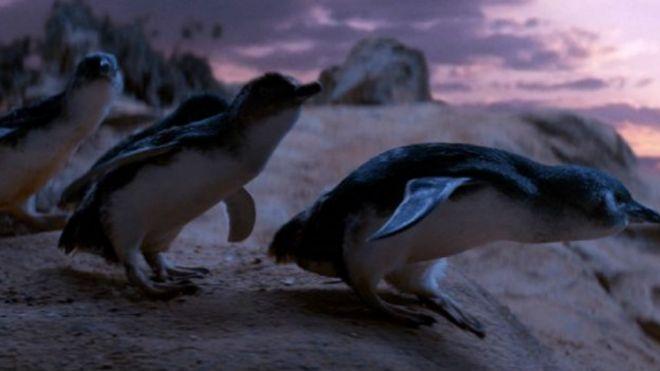 С приходом лис колония карликовых пингвинов с 800 особей сократилась до нескольких десятков
