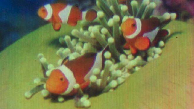 Рыба-клоун.