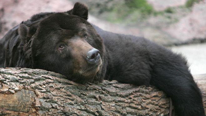 Медведь в зоопарке никак не может уснуть