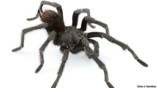 160205040712 tarantula spider black 624x351 chrisahamilton