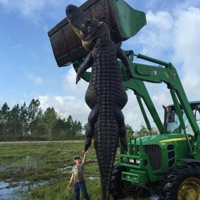 Increible : Atrapan Cocodrilo Gigante (Fotos)