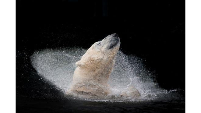 Un oso polar disfrutando un baño