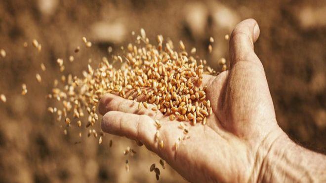 هل حفظ البذور البرية ينقذنا إذا دُمرت المحاصيل الزراعية في العالم؟