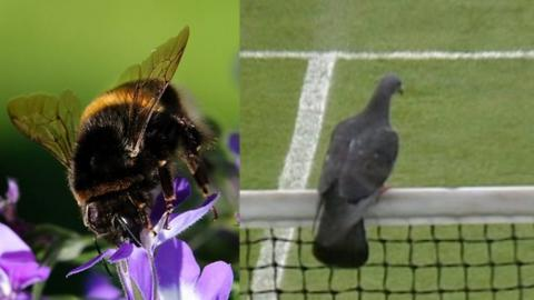 Birds and bees interrupt tennis