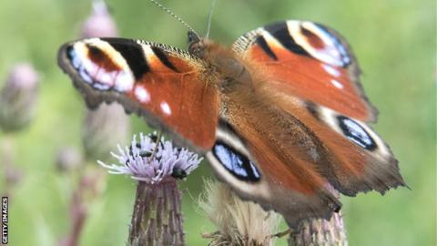 A peacock butterfly
