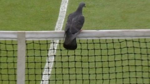 A pigeon stops play