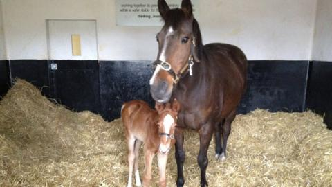 A newborn foal with her mother just two days after being born at the National Stud in Newmarket. The breeding season runs mainly from mid-February to June, with full-term pregnancies lasting 11 months