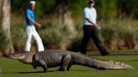 A giant alligator sits on the 14th fairway during the first round of the Zurich Classic at TPC Louisiana.