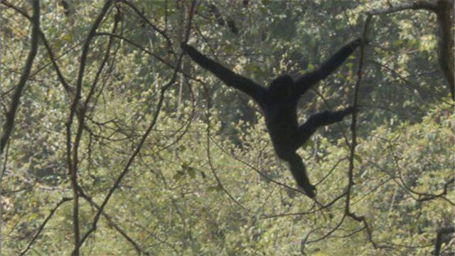 Gibbon song